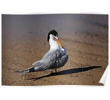 Crested Tern Poster
