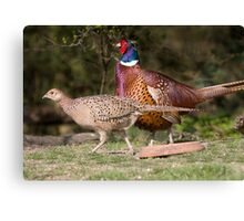 Male Phesant protecting his female. Canvas Print