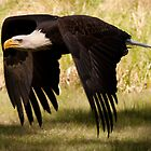 Bald Eagle - powerful down-stroke by Joy Danen
