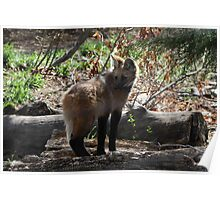 Maned Wolf Pup Poster