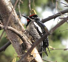 WOODPECKER  by Marie  Morrison