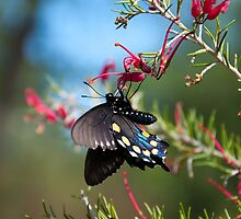 Turtle Bay Butterfly by RobSimpson