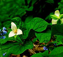 White Trillium and Virginia Cowslips_Shenk's Ferry Wildflower Preserve by Hope Ledebur