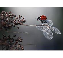 Ladybird on old hydrangea  Photographic Print