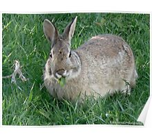 Cottontail Rabbit Out to Lunch Poster