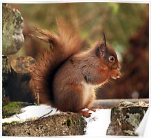 red squirrel  stunning little red head Poster