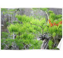 Dwarf Cypress Tree Poster