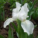 White iris by Ana Belaj