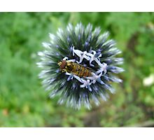 Whizz! Hoverfly on blossom. Photographic Print