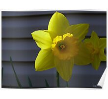 Shaded Yellow Daffodil Poster