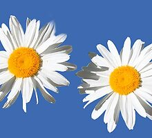Two lovely white daisy flowers in blue. flower photo art. by naturematters