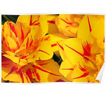 Red striped yellow tulips Poster