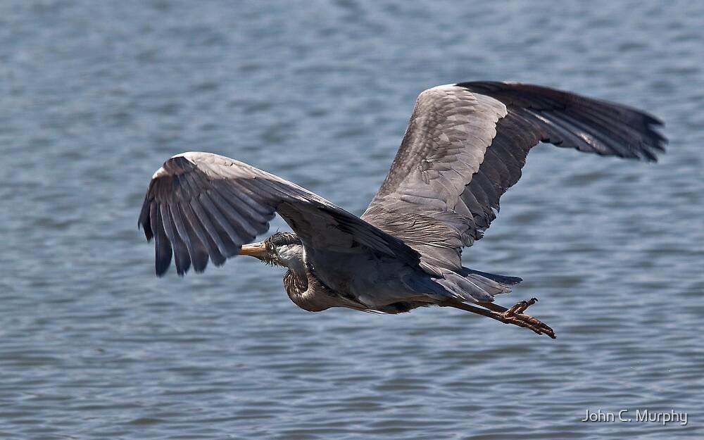 Grey Heron in flight by John C. Murphy