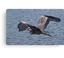 Grey Heron in flight Canvas Print
