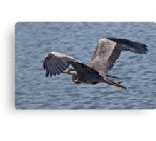 Grey Heron in flight Canvas Print