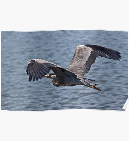 Grey Heron in flight Poster