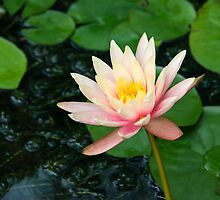 Pink waterlily by Anna Phillips