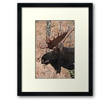 Bull moose - Algonquin Park, Ontario Framed Print