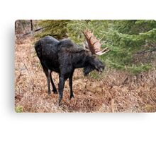 Bullwinkle - Algonquin Park, Ontario Metal Print