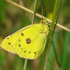 Giant Sulphur Butterfly by lorilee