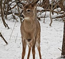 White - tail Deer - Ottawa, Ontario by Tracey  Dryka