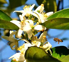 bee at orange blossom by Douglas Alan Photography