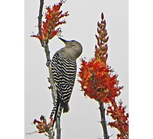 Gila Woodpecker on Ocotillo Photographic Print