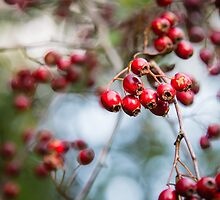 Bright red berries on a hawthorn hedge by Anna Phillips