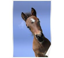 Dartmoor Pony Foal Poster