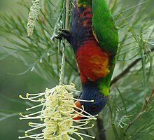 Rainbow Lorikeet  by feeee