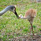Sand Hill Cranes by Douglas Alan Photography