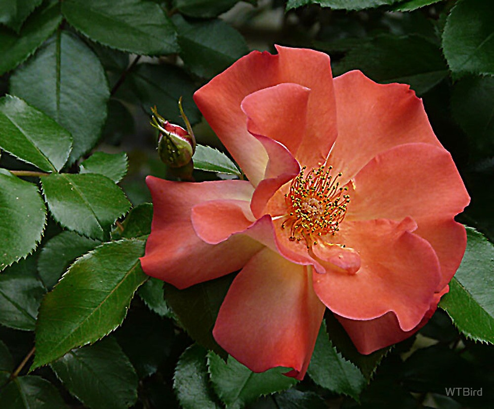 Knockout Rose of April by WTBird
