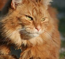 Orange Tabby Cat by DebbieCHayes