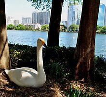 Swan at Lake Eola by Douglas Alan Photography