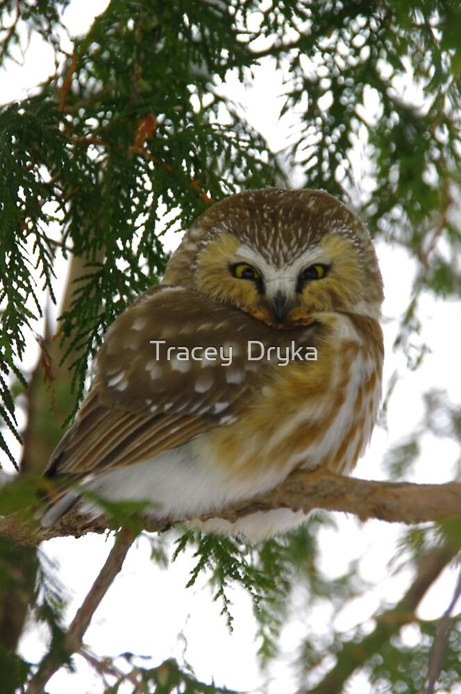 Northern Saw - Whet Owl - Ottawa, Ontario by Tracey  Dryka