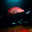 Pig Fish, Poor Knights, NZ by Sean Elliott
