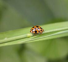 Ladybird going for a walk,Tumut, Australia. by kaysharp