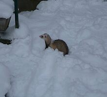 Ferret on a winterday by MordaxFurritus