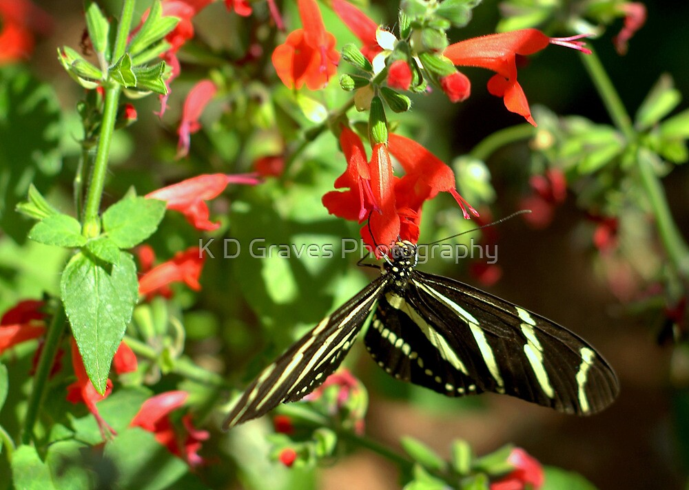 Zebra Longwing Butterfly by K D Graves Photography