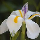 Flower dutch iris by loiteke