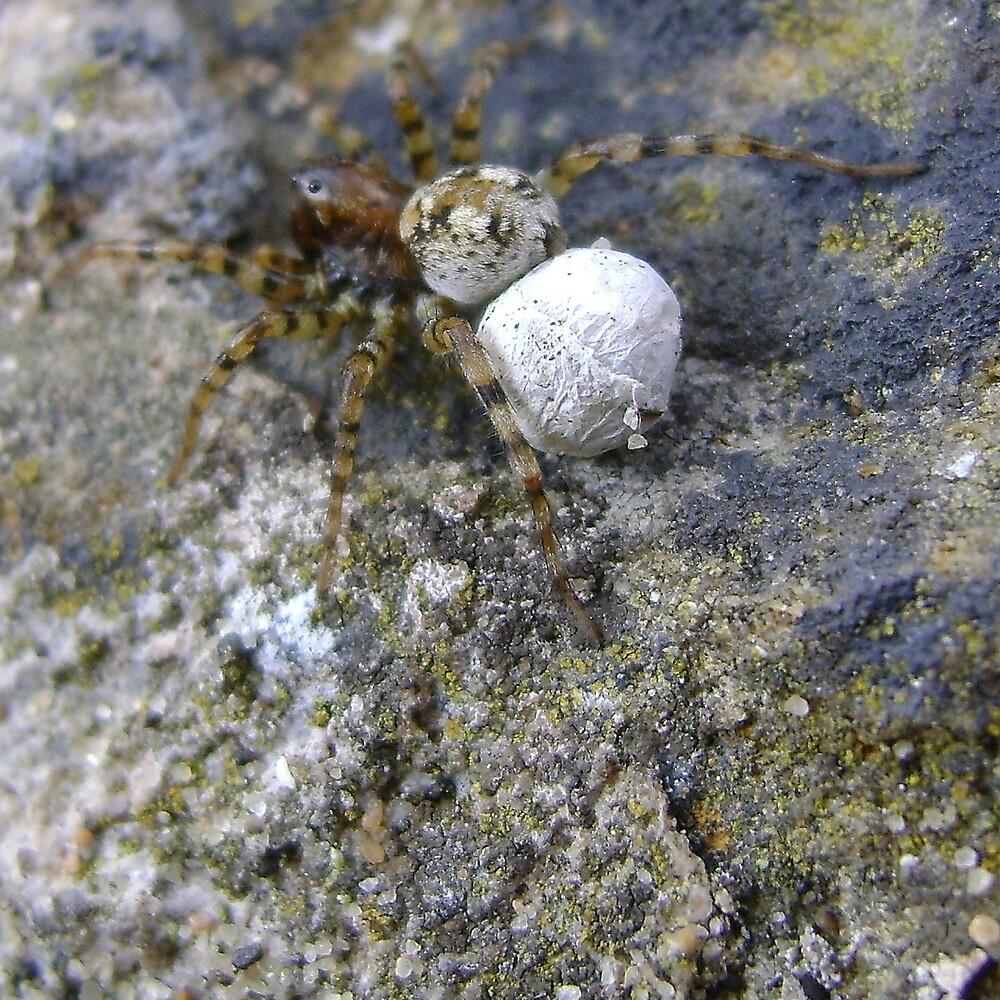 spider with egg sac (Aberdour beach) by armadillozenith