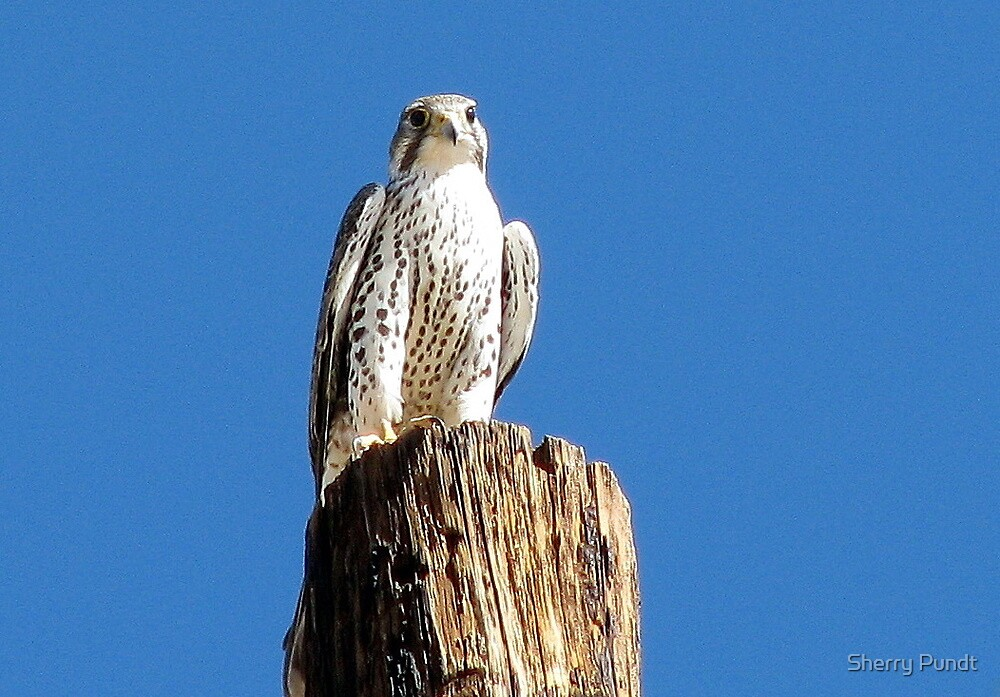 Prairie Falcon by Sherry Pundt