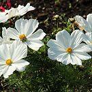 White Garden Beauties by karina5