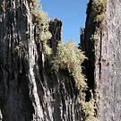 Lichen on a tree stump, Cradle Mountain, Tasmania, Australia. by kaysharp