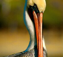 Proud pelican by Kimberly Kay Spies