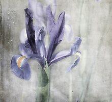 Iris by paulgrand