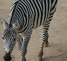 Zebra at Auckland Zoo by Joanne Dillon