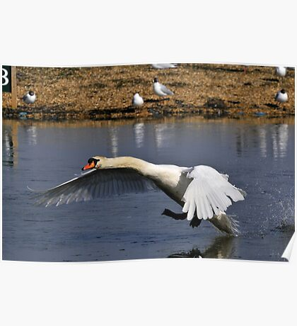 mute swan about to touch down Poster