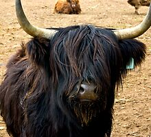 Highland Cattle #2 by Trevor Kersley