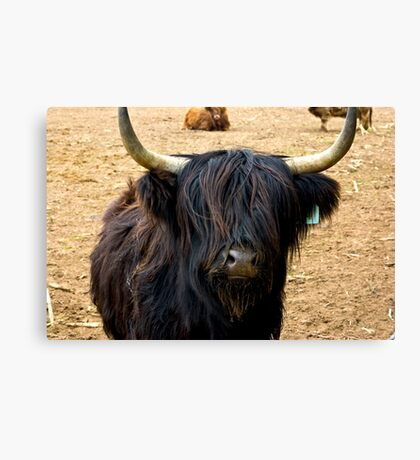 Highland Cattle #2 Canvas Print